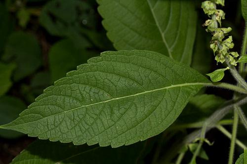 health benefits of the leaves of Ocimum gratissimum