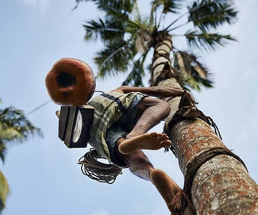tapper climbing a palm tree to collect palm wine